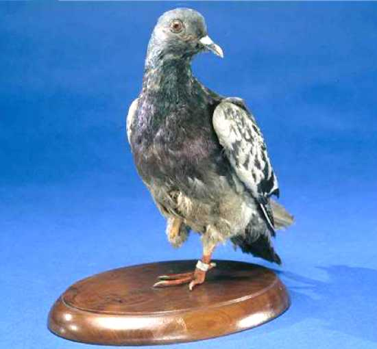 Чучело голубки Шер Ами в Смитсоновском институте